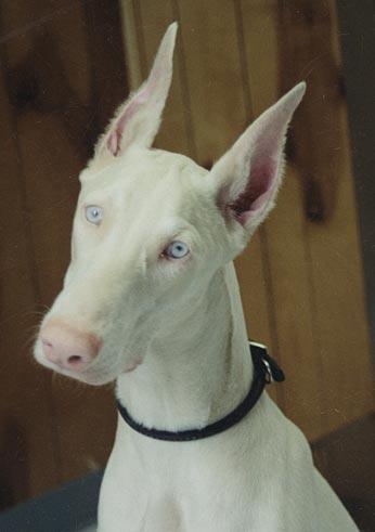Dog Ear Cropping Dog Ear Trimming San Dimas California And Beyond